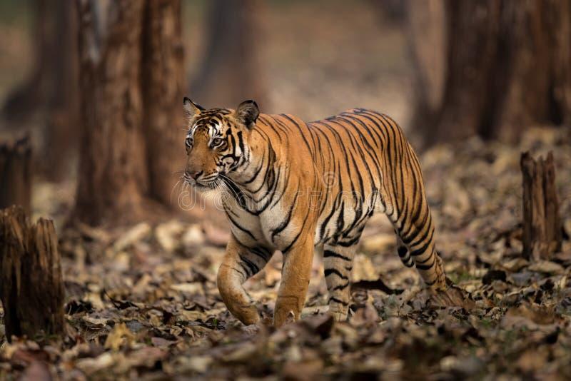 Tygrys w dzikim India fotografia royalty free