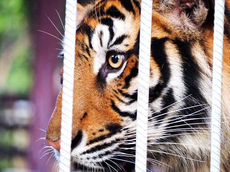 Tygrys w klatce zdjęcie stock