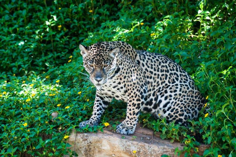 Tygrys w klatce w zoo w Tajlandia naturalny napad był f zdjęcia stock
