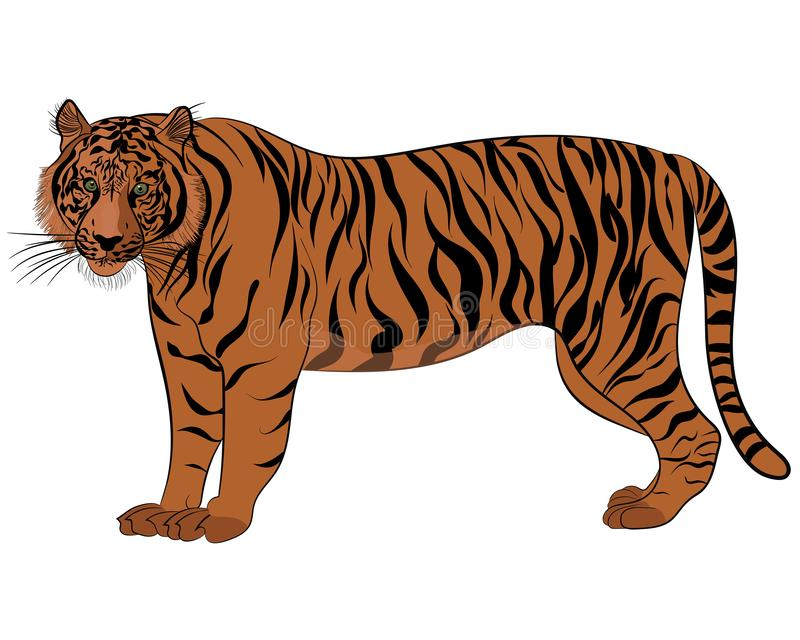 Tygrys w vectoring styl ilustracji