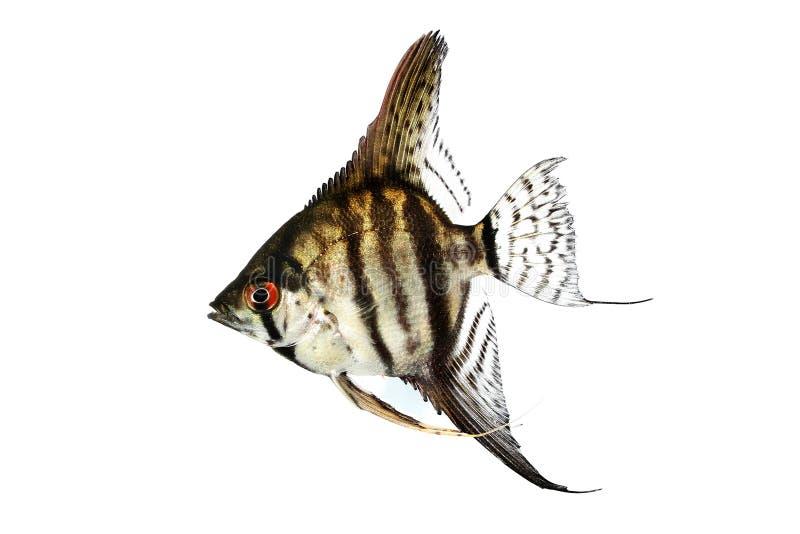 Tygrysa angelfish pterophyllum scalare akwarium Marmurowa ryba zdjęcie royalty free