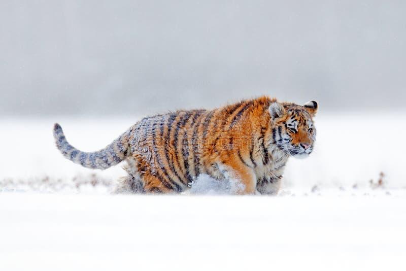 Tygrysi śnieżny odprowadzenie na zimy łące Pomarańczowy zwierzę w białym siedlisku Amur tygrys w naturze Przyrody scena od tajgi  zdjęcia stock