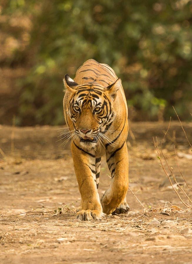 Tygrysi chodzący obszycie naprzód obraz royalty free