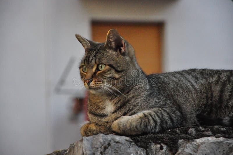 Tygrysi domowy kot pozuje przy fotografem zdjęcia royalty free