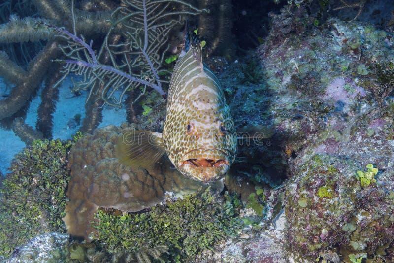 Tygrysi grouper fotografia royalty free