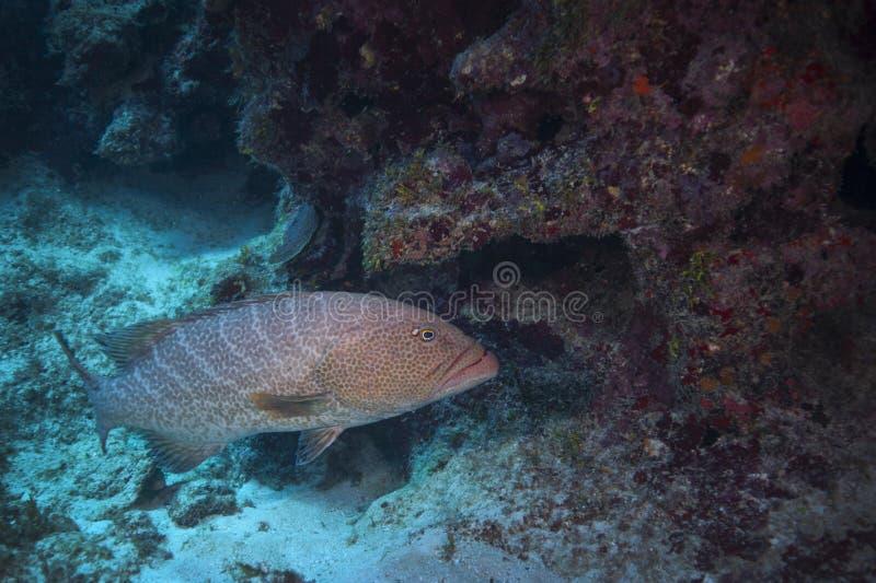 Tygrysi Grouper - Uroczysty kajman zdjęcia stock