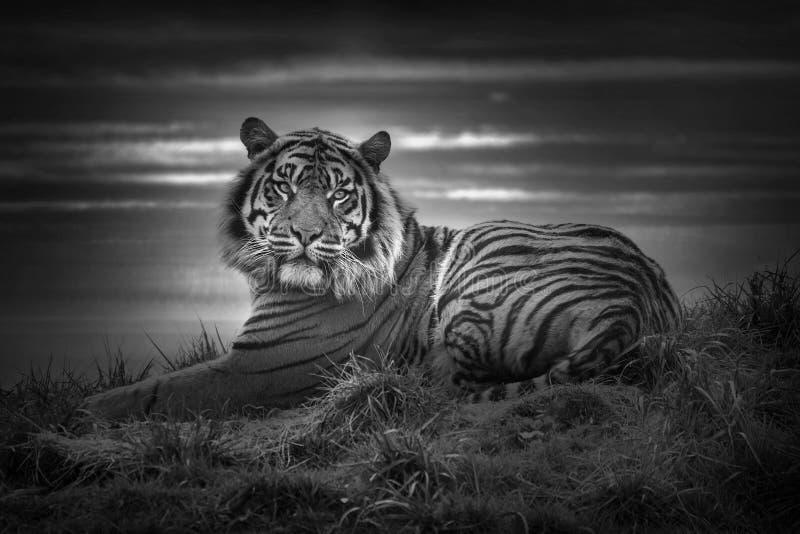 Tygrysi kłaść w dół odpoczywać i gapić się patrzeć prosto naprzód zdjęcia royalty free
