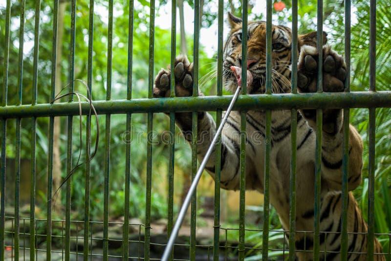 Tygrysi karmienie przy Bali zoo obraz royalty free