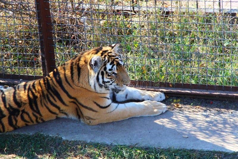 Tygrysi lying on the beach w klatce zdjęcia royalty free