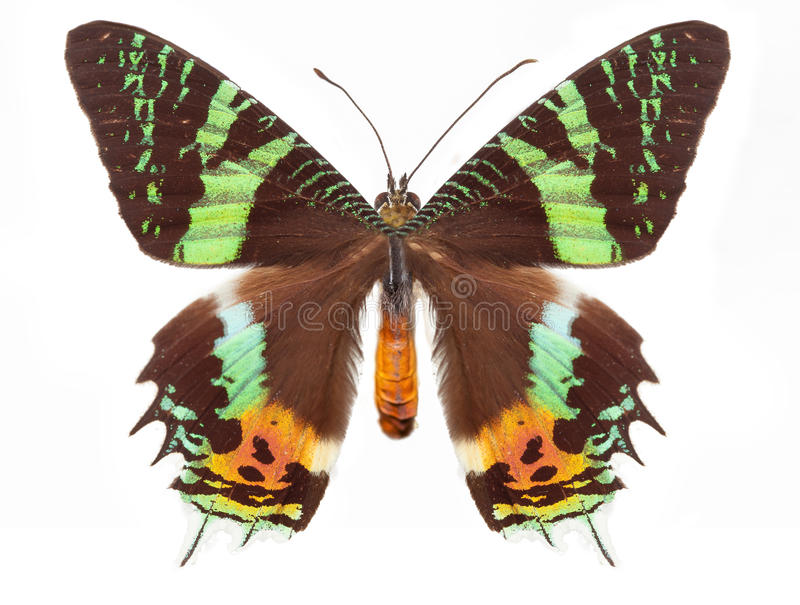 Tygrysi motyl obraz stock