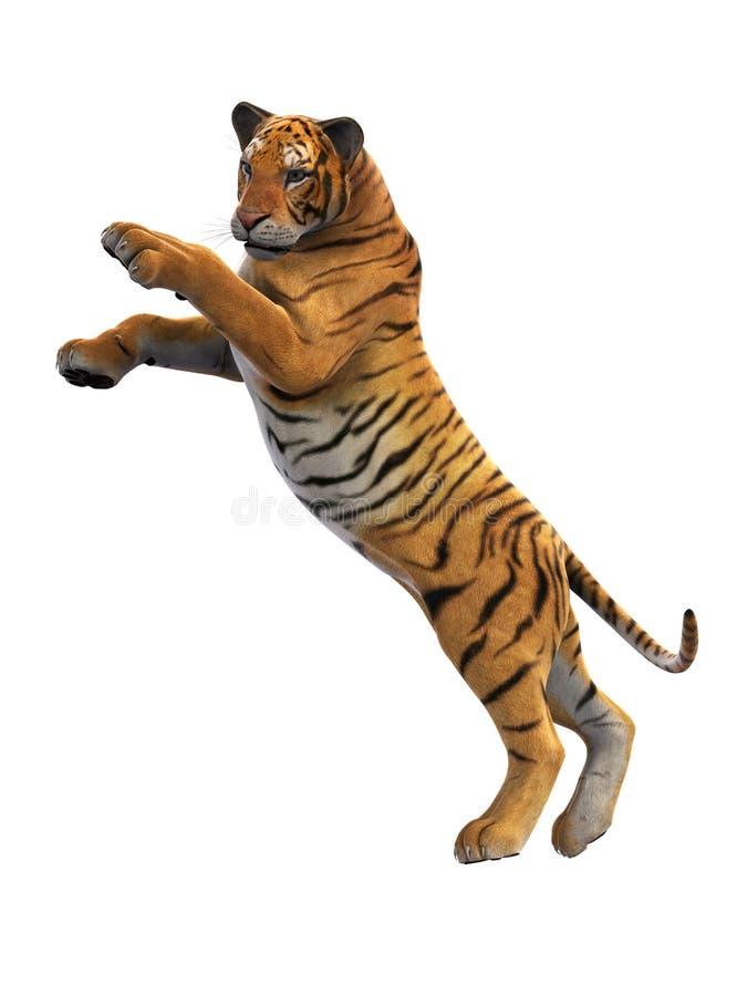 Tygrysi napadanie, dzikie zwierzę na białym tle royalty ilustracja