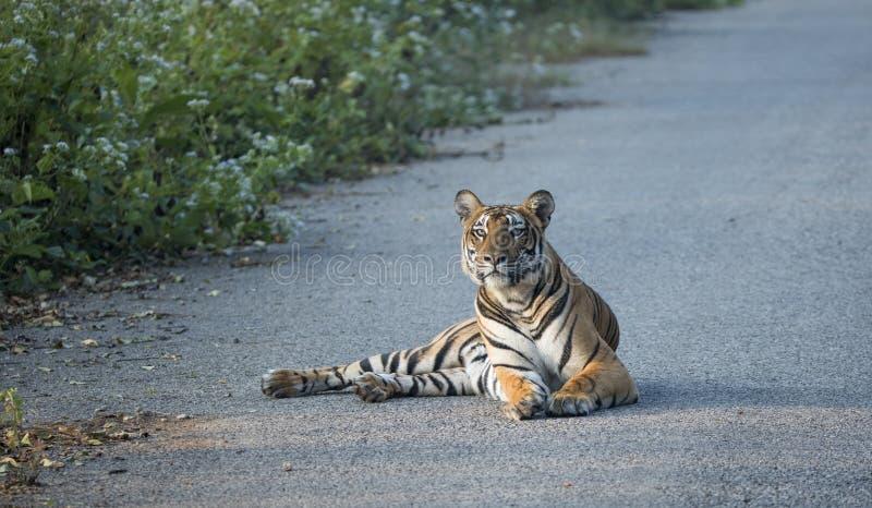 Tygrysi obsiadanie na drodze zdjęcia stock
