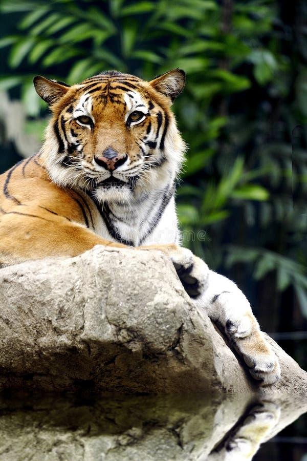 Tygrysi obsiadanie na skale. zdjęcia royalty free