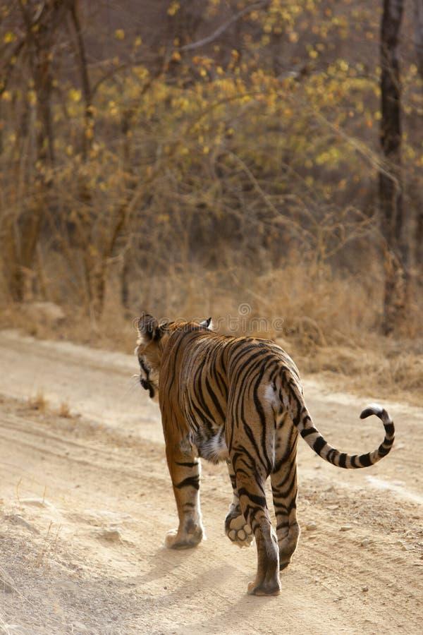 Download Tygrys na grasującym. obraz stock. Obraz złożonej z przyroda - 30077423