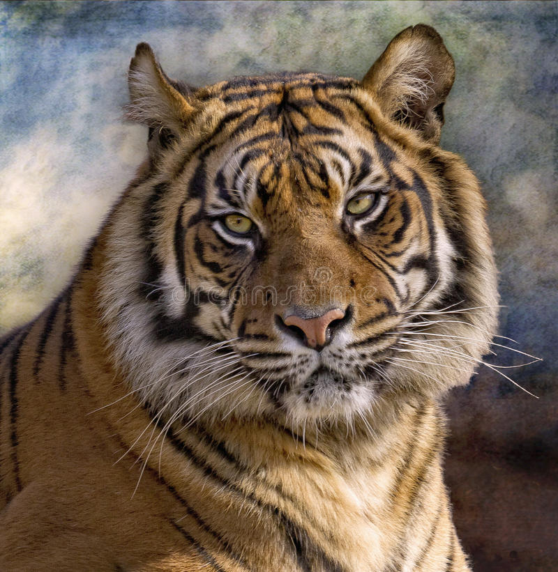 tygrysi panthera tigre Tigris obrazy stock