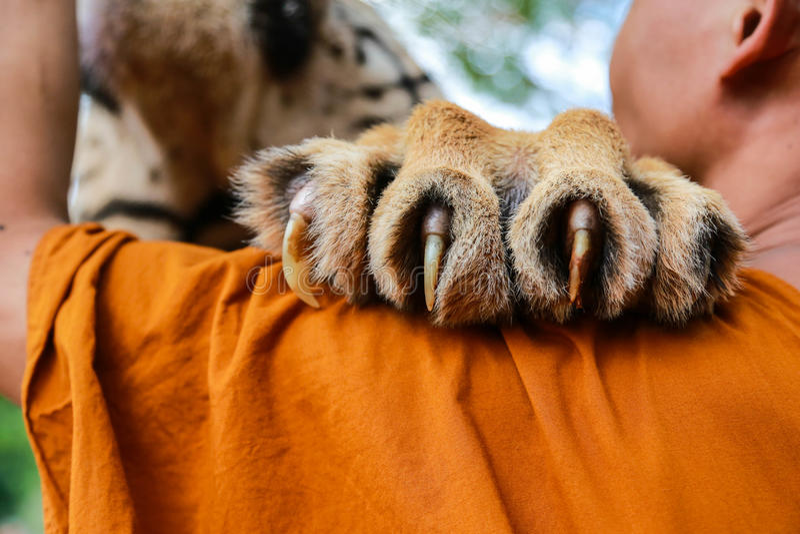 Tygrysi pazur obraz stock
