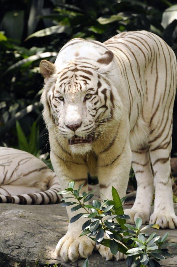 tygrysi pionowo biel fotografia royalty free