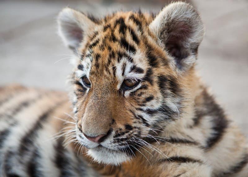 tygrysi potomstwa zdjęcia stock