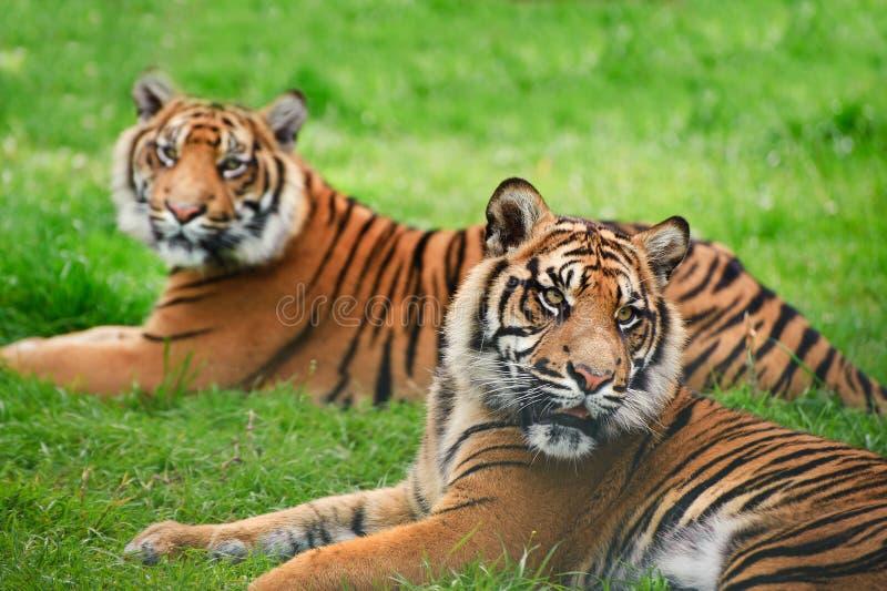 Tygrysi Sumatran Panthera Tygrys Sumatrae obraz stock