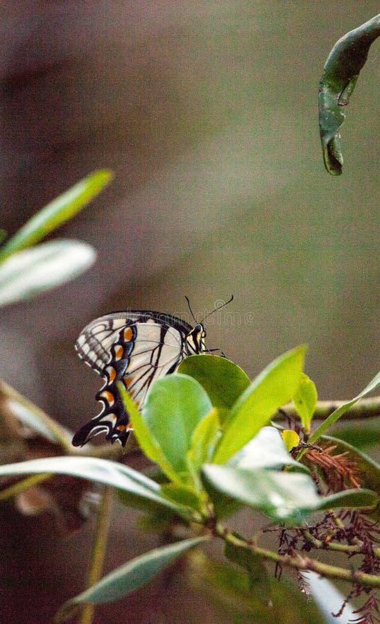 Tygrysi Swallowtail Papilio Motyli glaucus obraz royalty free