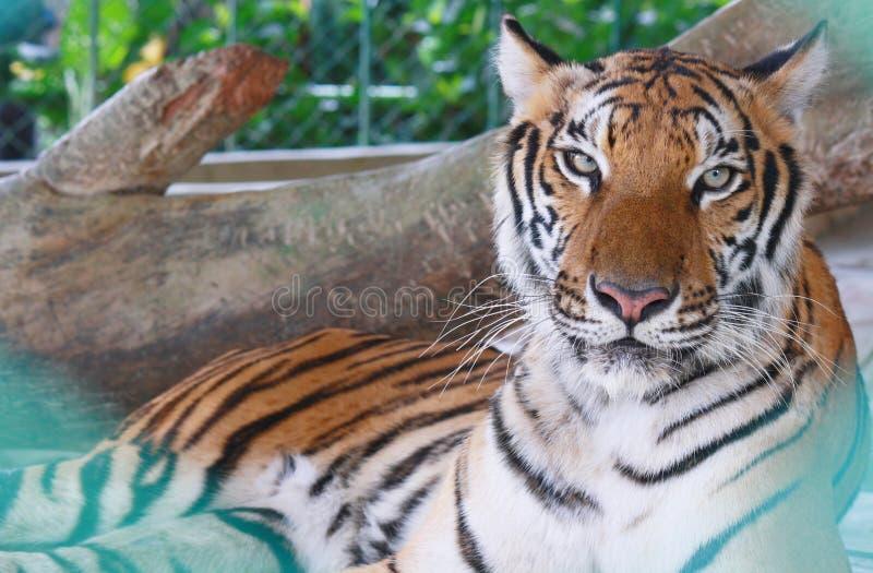 Tygrysi zoo, Sriracha Tajlandia obraz royalty free