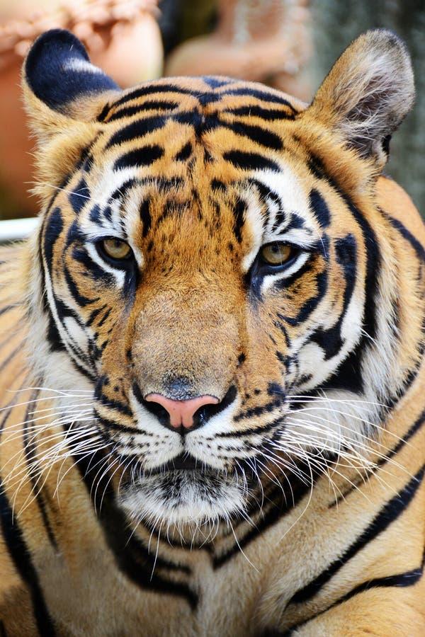 Tygrysia twarz fotografia stock