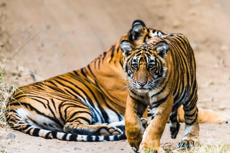 Tygrysica Noor z lisiątkiem fotografia royalty free