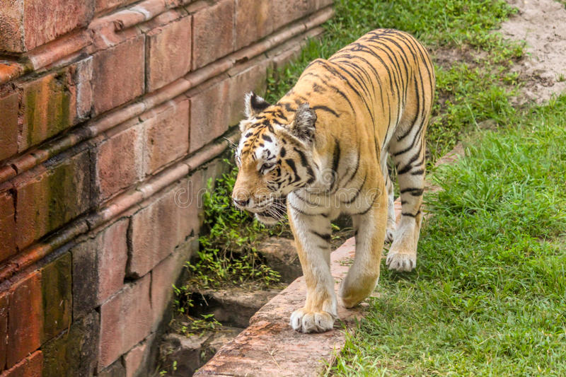 Tygrysy Chodzi i Kłaść w wodzie obraz stock