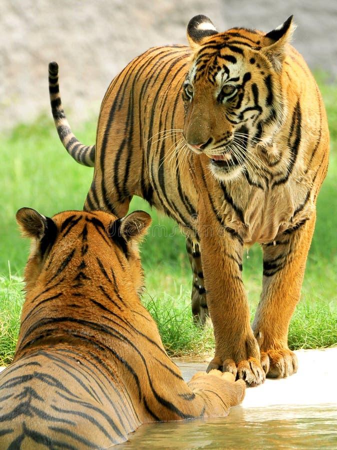 tygrysy dwa obraz royalty free