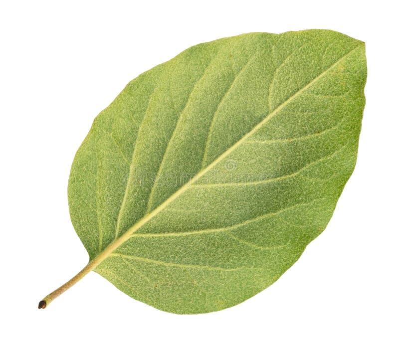 Tylna strona świeży zielony liść pigwy drzewo obraz royalty free