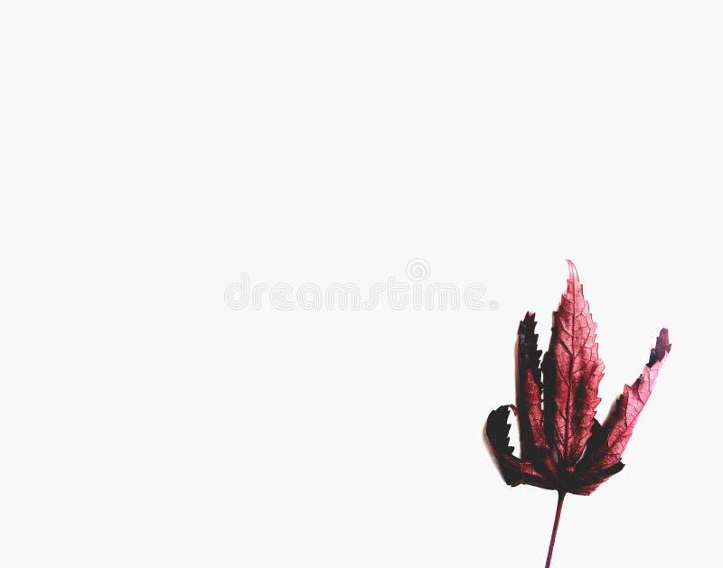 Tylna strona czerwony, szkarłatny liść z badylem na białym tle/ natury jesieni liście zdjęcie stock