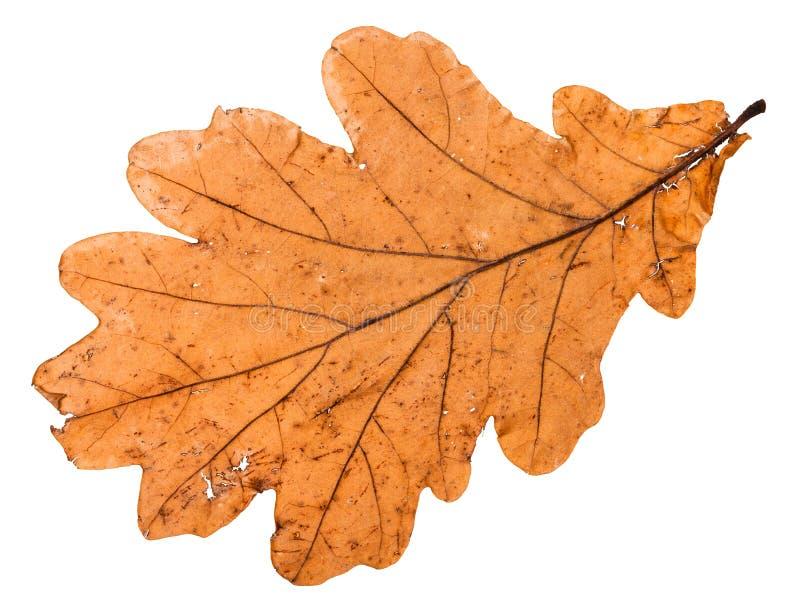tylna strona jesień łamający liść dębowy drzewo zdjęcie royalty free