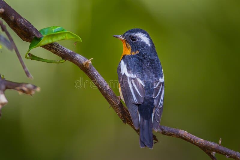 Tylna strona Mugimaki flycatcher fotografia stock