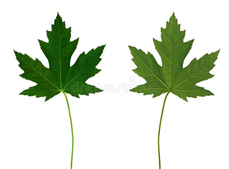 tylne 1 przodu klonów liściach fotografia stock