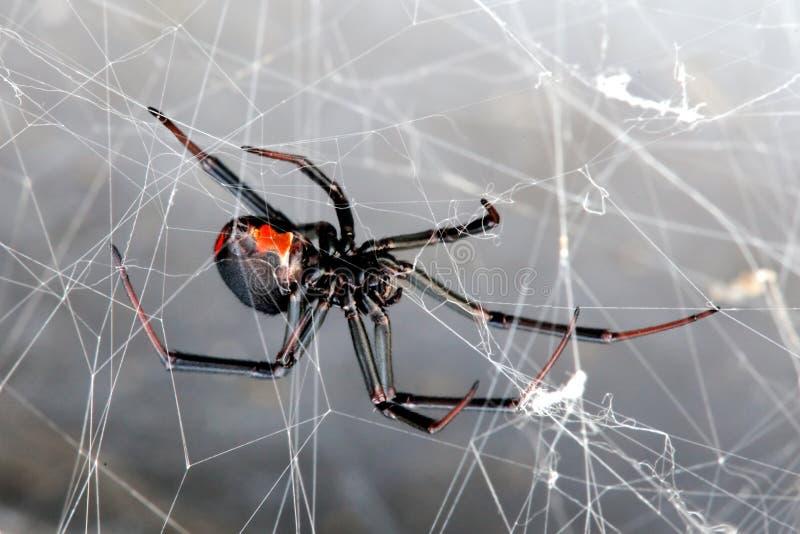 tylnego hasselti lacrodectus czerwony pająk obraz stock
