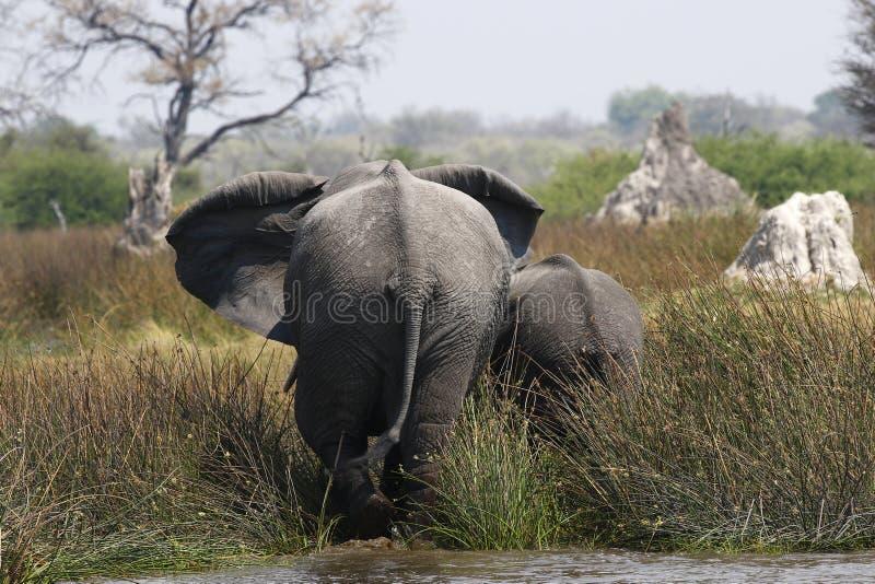 Tylni widok Afrykańscy słonie w delcie obrazy royalty free