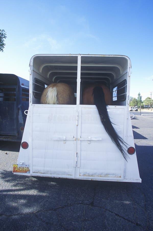 Tylni widok konie odtransportowywa w końskiej przyczepie obrazy stock
