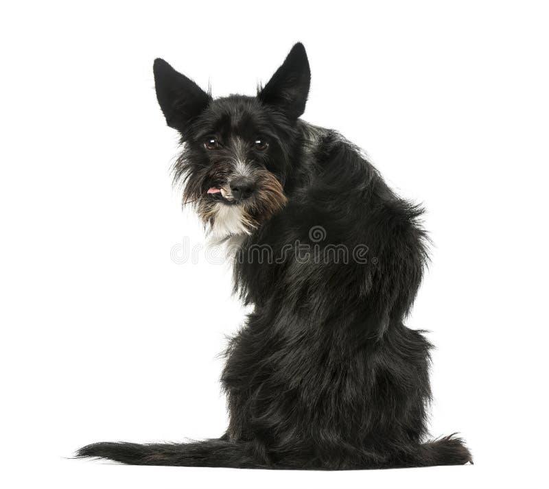 Tylni widok Mieszany trakenu psa obsiadanie i patrzeć backwards obrazy royalty free
