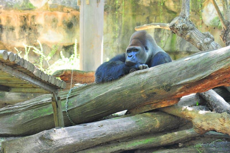 tylny goryla samiec srebra myśliciel zdjęcia stock