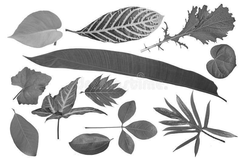 Tylny i biały wizerunek tropikalna liść kolekcja zdjęcie stock