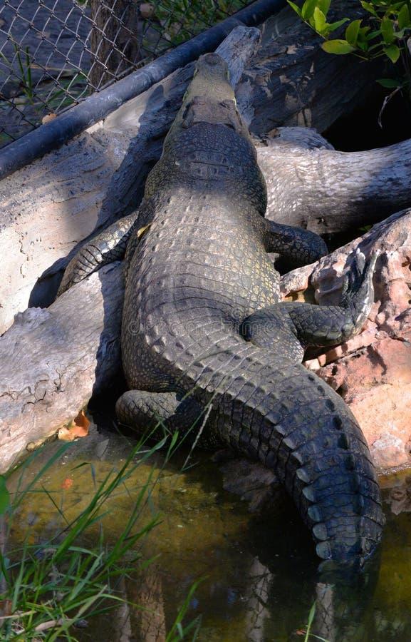 Tylny krokodyl fotografia royalty free