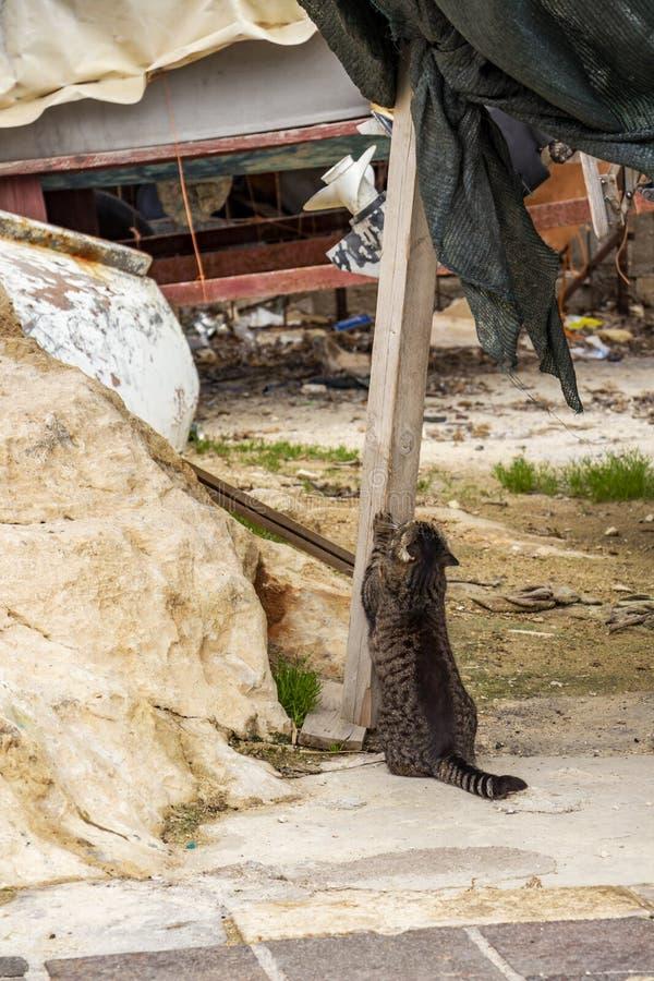 Tylny widok kota ostrzenie drapa na drewnianym promieniu przy St Juliańskim ` s, Malta fotografia royalty free