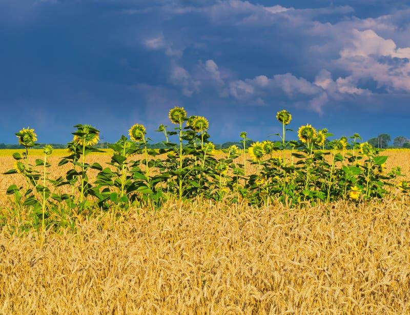 Tylny widok słoneczniki w pszenicznym polu pod burzowym niebem obraz royalty free