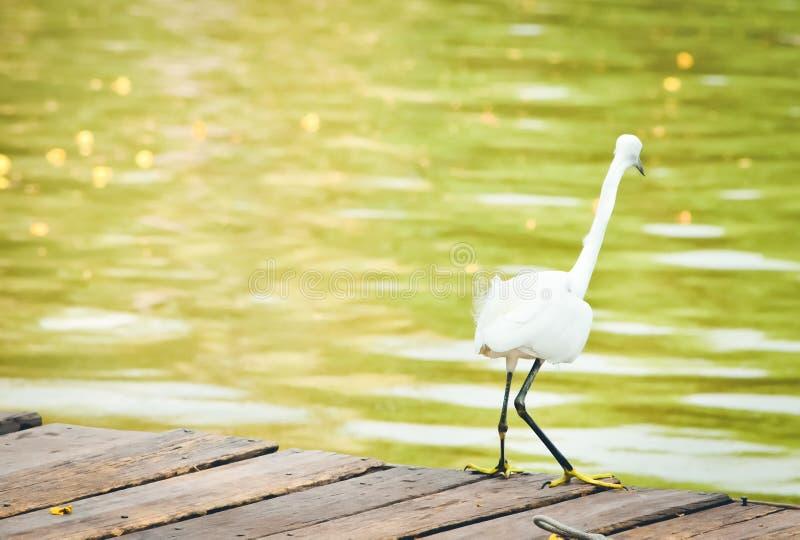Tylny widok Wielki biały egret na molu zdjęcie royalty free