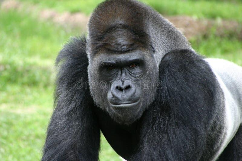 tylny zbliżenia fortu goryla srebro warty zoo obraz stock