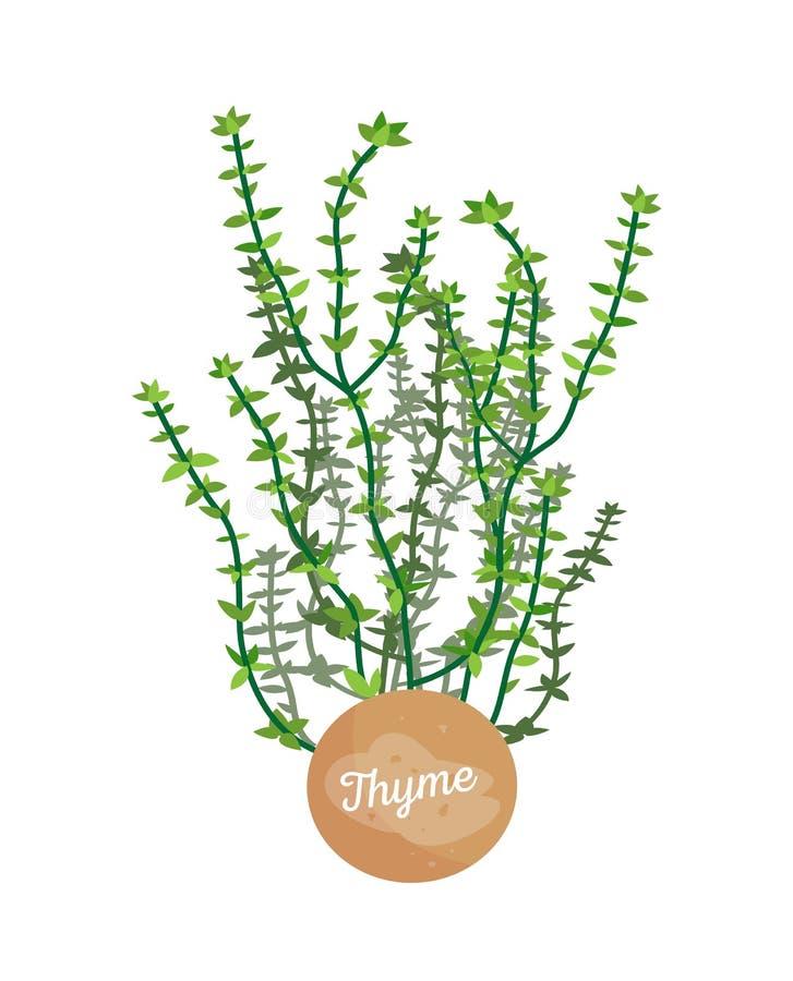 Tymiankowa Plakatowa Aromatyczna roślina wektoru ilustracja ilustracja wektor
