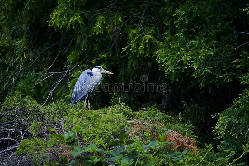 Typ av fågel Ardea Cinerea arkivfoton