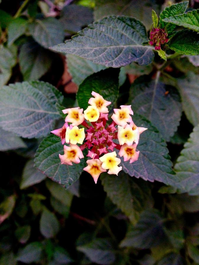 Typ hiszpańszczyzna Zaznacza, Lantana kwiaty (Lantana camara) obraz royalty free