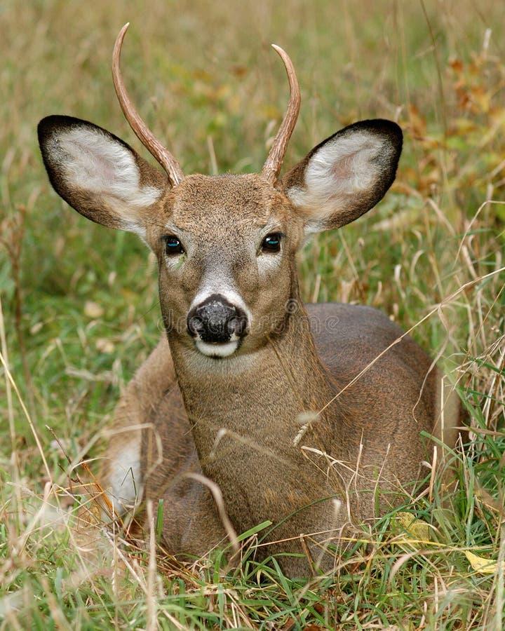 Type de cerfs communs dans l'herbe images libres de droits