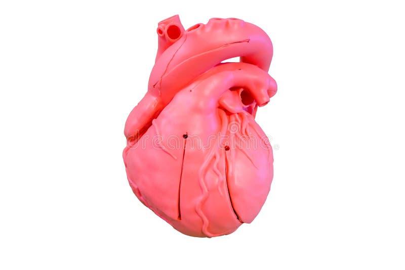 Type modèle de silicone d'anatomie du système cardio-vasculaire images libres de droits